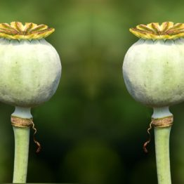 Twin Poppys